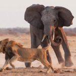 14 голодных львов напали на слона. Теперь внимание на 1:18
