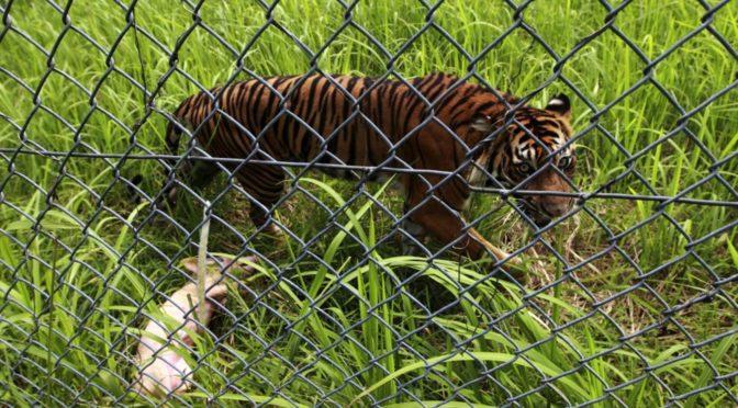 Тигрица, оказавшись на свободе, отомстила кабану, который долго злил ее…