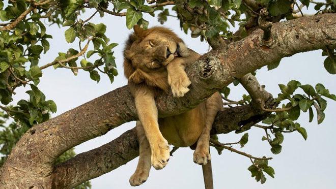 Лев погнался за добычей на дерево, но по дороге уснул на ветке