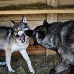 Аляскинский маламут против черного волка кто же сильнее ? (видео)