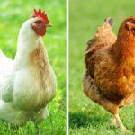 Чем на самом деле отличаются коричневые яйца от белых?