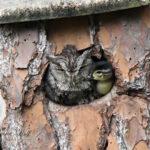 Люди нашли дупло в котором хищная сова растила маленького утенка
