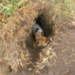 Собака забежала в лисью нору и блуждала там 3 дня. Хозяева ахнули, когда…