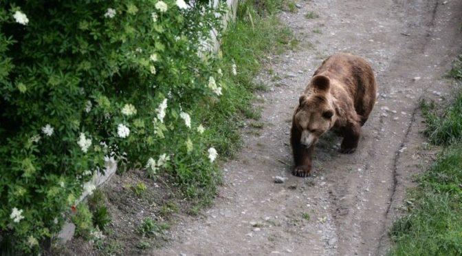 Дикий медведь подошел сзади к туристке. Его внимание привлекли ее…волосы!
