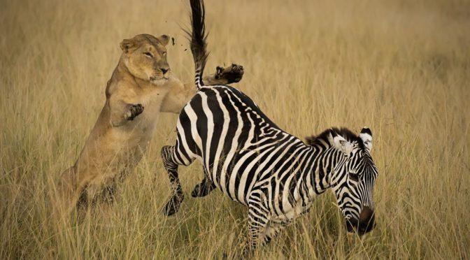 Голодная львица набросилась на зебру, не рассчитав свои силы. Непредвиденный финал!