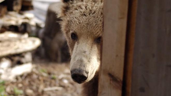 Вор забрался в дом егеря и тут же бежал: навстречу ему вышла медведица…