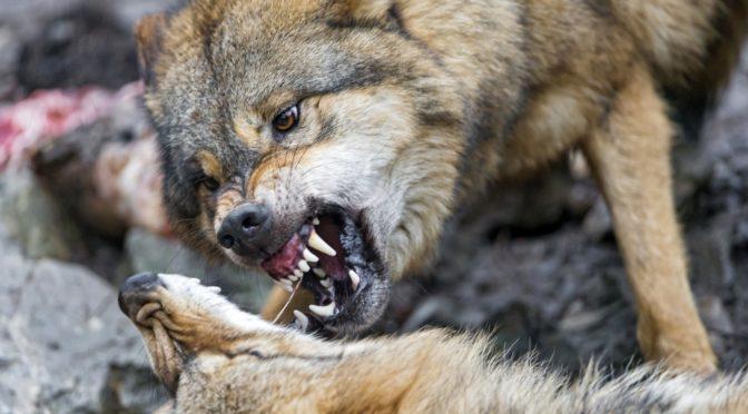 Русская овчарка бесстрашно вышла навстречу стае волков. Шокирующий финал!