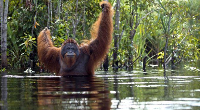 Турист упал в болото и начал тонуть. Посмотрите, что с ним сделали обезьяны