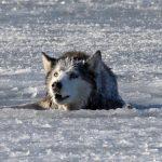 Волк молил мужчину о помощи: увидев такое, он не поверил глазам