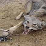 Волк умолял о помощи: поступок его стаи удивил всех