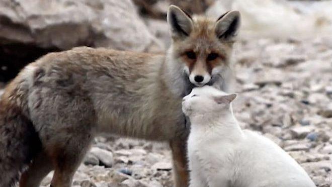 Дикая лиса подкралась к уличной кошке, чтобы съесть ее. Но не тут-то было!